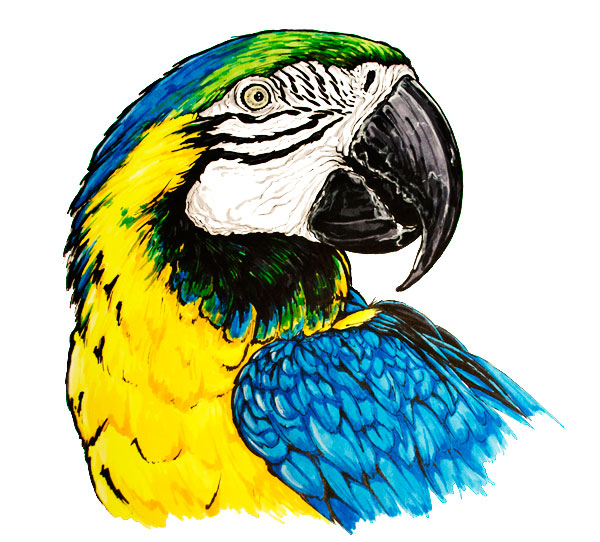 Blue And Yellow Macaw Parrot Animal Drawing Art