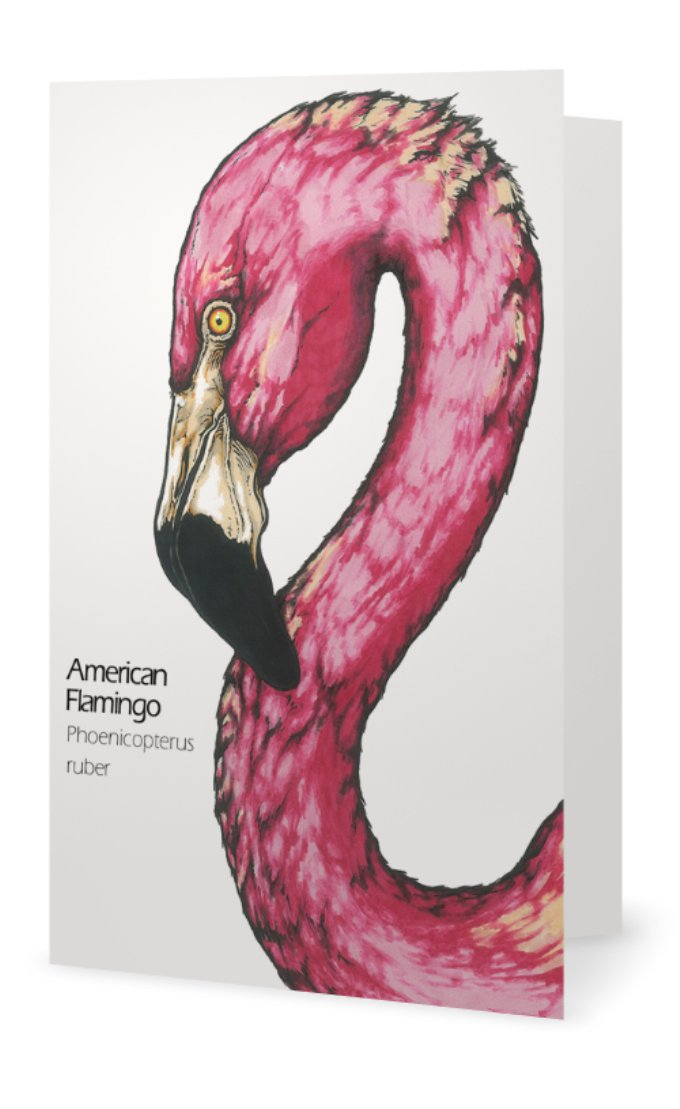American flamingo drawing greeting card