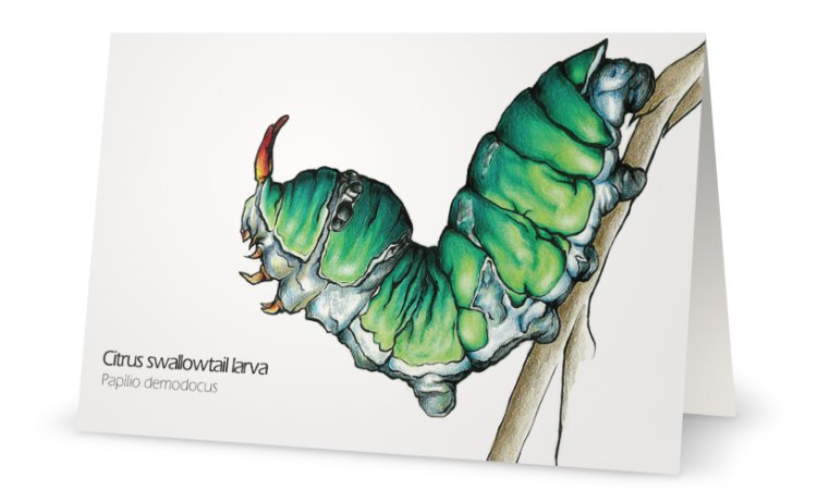 Citrus swallowtail caterpillar drawing greeting card