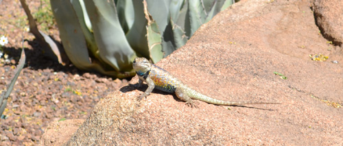A lizard observed in Arizona